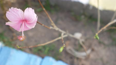 mallow : The Hibiscus Leaves Fall out The Only Pink Flower against Windy in Winter