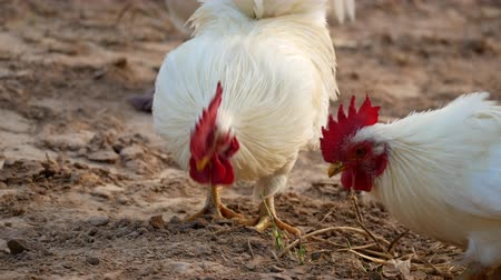 bantam : The White Bantams Looking for Food on The Ground