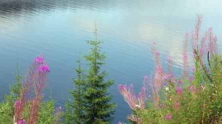 olhando a câmera : Pink flowers and fir trees on lake water background.