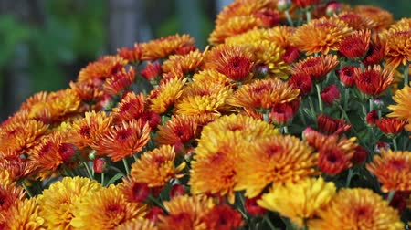 autumn : Bush of beautiful orange autumn chrysanthemum flowers close-up. Smooth video panorama. Stock Footage