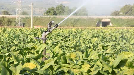 tabaco : Tobacco Field Stock Footage