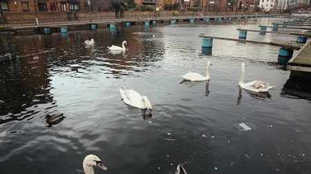 urban birds : Swans and other birds on a canal in London, in a residential district. The water is dirty and dark. Pollution and environment concepts Stock Footage