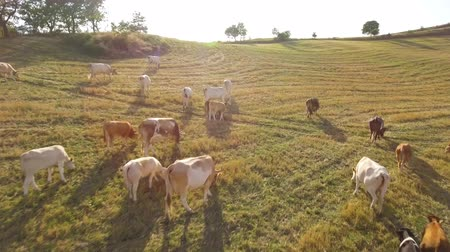 vitela : Cows grazing on open fields in the countryside in Italy. Several cows with calves and a bull on a pasture at sunset, aerial view over the animals. Nature and livestock.