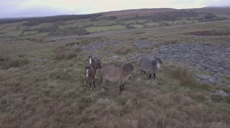 Wild horses roaming free in the countryside. Aerial view of a small group herd of horses in Wales, UK. Animals and nature concepts Wideo