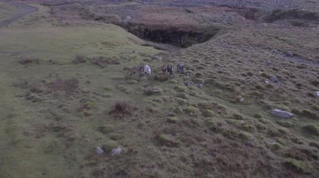 Wild horses roaming free in the countryside. Aerial view of a small group herd of horses in Wales, UK. Animals and nature concepts 動画素材