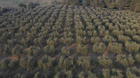 склон холма : Olive tree grove aerial view in Italy. Countryside scene at sunset with many rows of olive trees on a hillside in southern Italy. Agriculture and nature concepts