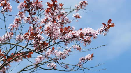 spring breeze : Cherry plum blossom on sky background