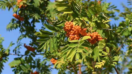 sorbus : Bunch of rowanberry on tree