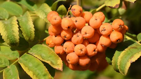 sorbus : Fruits of rowanberry close-up