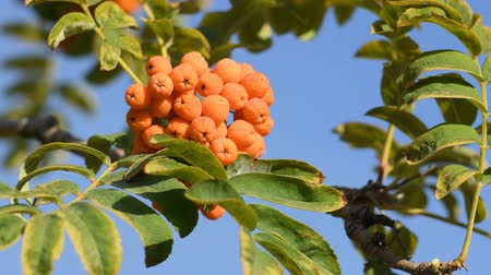 sorbus : Bunch of rowan on tree Stock Footage