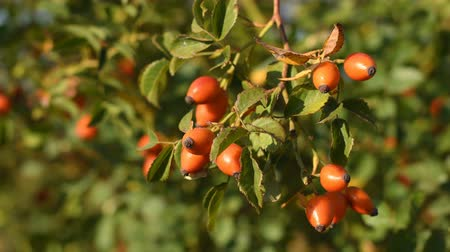 rosehip : Rose hips on bush