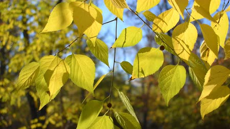 linden : Autumn leaves of linden tree close up Stock Footage