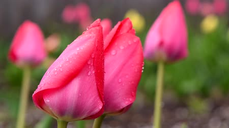 Pink tulips after rain close-up