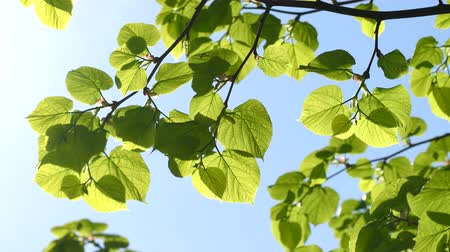 linden : Green leaves of linden tree on sky background Stock Footage