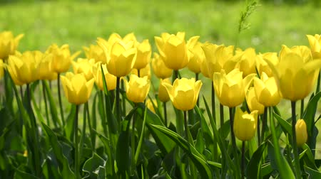 doğa : Yellow tulips in spring garden Stok Video