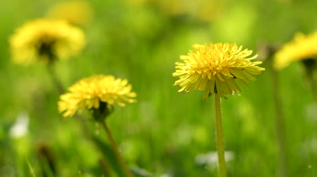 doğa arka plan : Flowers of dandelion on green grass background