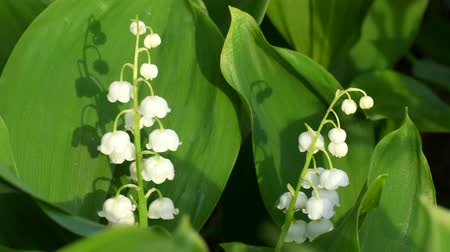 lelietjes van dalen : Lily of the Valley bloemen Stockvideo