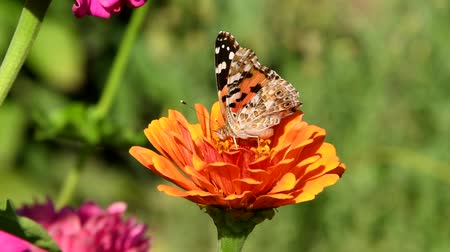 Vanessa cardui or painted lady butterfly on zinnia flower close-up