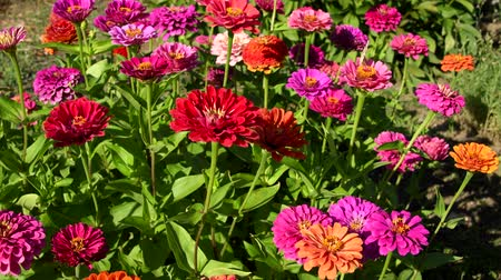 Flowers of zinnia in garden Vídeos