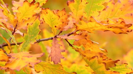 Branch of oak with autumn leaves