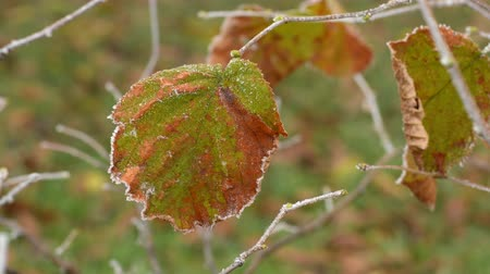Frosty autumn leaf close-up