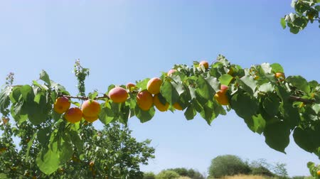 brzoskwinie : Apricots hanging from tree on a Sunny Day