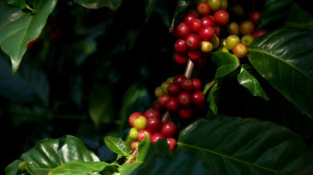 kávové zrno : Fresh organic red raw and ripe coffee cherry beans on tree swaying in wind close up, agriculture plantation in North of Thailand. Dostupné videozáznamy
