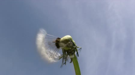 tohum : Dandelion in the Wind