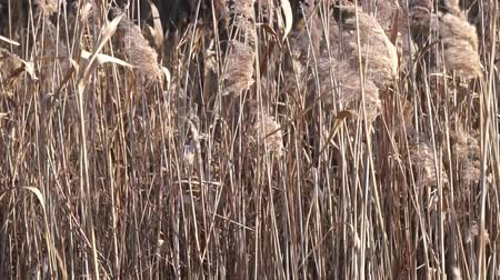 filigrana : field of reed in the wind - silence