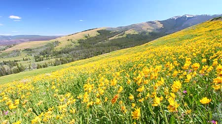 préri : Bright yellow flowers sway in the wind on a hillside of Yellowstone National Park - USA Stock mozgókép
