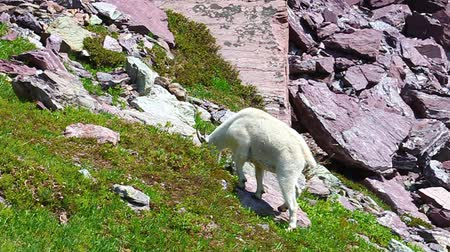 ledovec : Mountain Goat (Oreamnos americanus) browses on vegetation at Glacier National Park in Montana