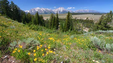 préri : Yellows flowers sway in the breeze with the Grand Teton Range in the backdrop