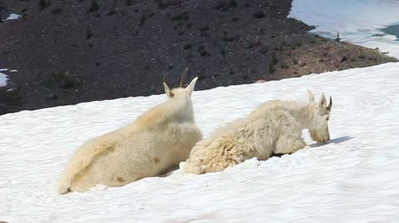 cabra : Mountain Goats (Oreamnos americanus) sit on snow  Stock Footage