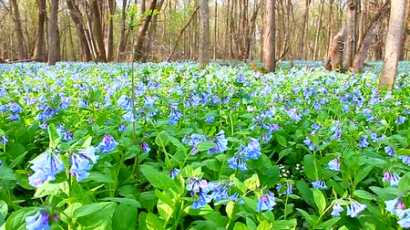 brisé : Balancement de Virginia Bluebells (Mertensia virginica) dans le vent à Oak Ridge Forest Preserve en Illinois