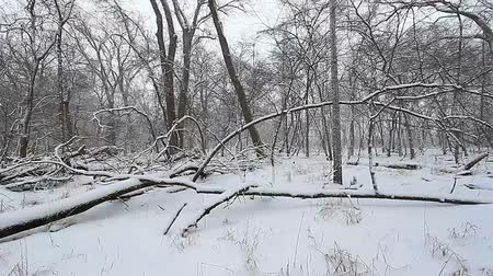 harikalar diyarı : Snow falls in a deciduous forest of northern Illinois