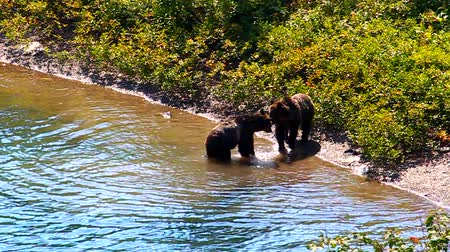 wildtiere : Grizzly Bear Cubs Glacier Park Videos