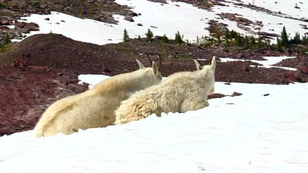 růžky : Mountain Goats (Oreamnos americanus) sit on snow near the Sperry Glacier of Glacier National Park in Montana
