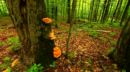 champignon : Porcupine Mountains North Michigan
