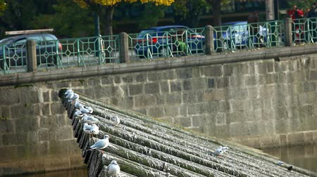 prague bridge : seagulls fly out from wood riverside of vltava in prague