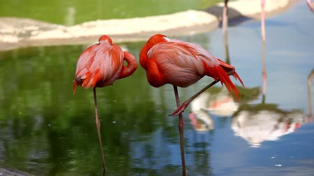 plumas : Flamingo pie en el lago Archivo de Video