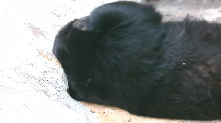 oneself : Brown bear sleep and scratch oneself Stock Footage