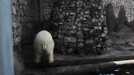 полярный : White bear urinate in zoo and walk out Стоковые видеозаписи