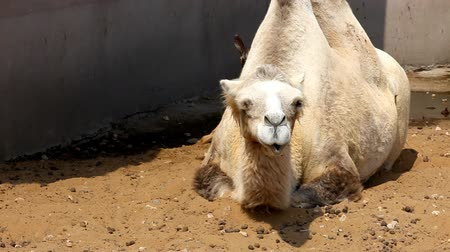 camelo : Camel lie on ground in zoo