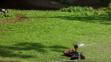 irrigate : sprinkler on grass and duck walk in zoo