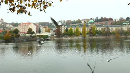 prague bridge : seagulls catch food - fly near riverside of vltava in prague