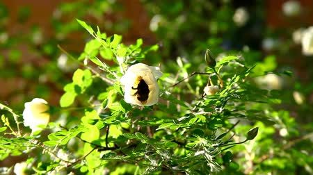 krzak : bumblebee in rose flower on bush at sunset Wideo