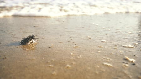 csibész : Sea urchin on the sand washed by waves video