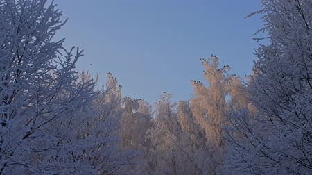 Tree tops covered with frost low angle view Stock Footage