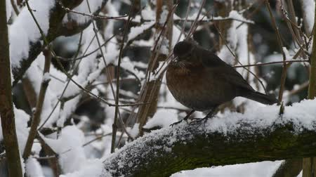 turdus merula : blackbird in winter scenery Stock Footage