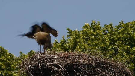 bird family : stork in nest